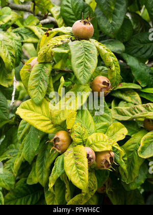 Late summer fruit of the hardy deciduous, tree forming medlar, Mespilus germanica - Stock Photo