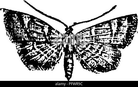 . A manual for the study of insects. Insects. The Meal-moth, Pyralis farinalis (Pyr'a-lis far-i-na'lis) is a common species. The larva feeds on jjj^ meal, flour, and old clover-hay. The moth is commonly found near the food of the larva, but is often seen on the ceilings of rooms sitting with its tail curved over its back. It expands about an inch ; the fore wings are light brown, crossed by two curved white lines, and with a dark chocolate-brown spot on the base and tip of each. The Clover-hay Worm, Pyralis costalis (Pyr'a-lis cos-ta'- Hs). The larva of this species sometimes abounds in old st - Stock Photo