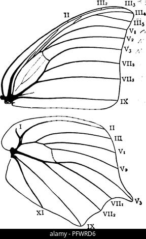 . A manual for the study of insects. Insects. LEFIDOPTERA. 201 In the flight of insects it is important that the two wings of each side should act together, and we find that this is secured in most orders by uniting them in some way. In the Lepidoptera two dis- tinct metliods are employed ; in some it is done by means of 2ijugwii^ in others by means of a p'emilui?! or its substitute. As neither the jugum nor the frenulum could be derived from the other, we infer that the primitive Lepidoptera possessed neither of these organs, but had wings that were quite distinct from each other. In the cour - Stock Photo