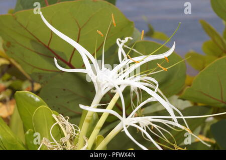 Wild flower from the coast of Dominican Republic - Stock Photo