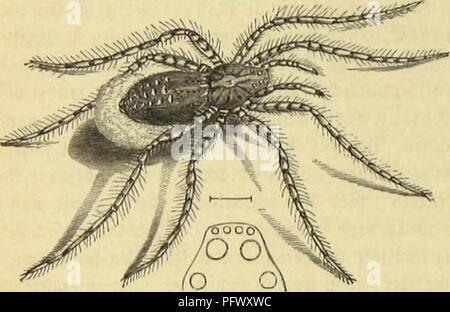 . Die Insekten, TausendfuÌssler und Spinnen. Insects; Arthropoda. 672 3>wite Drbmmg: !ffie&f|>iunen; fünfte gcimUic: SBotfäflMiuicii.. fammetartigen ©tunbei getjüvt 31t bet cfjatattciiftifcfjen 3eictjnung bei Sorbet» unb Hinterleibes fammtlidjer ©attungigenoffen. SieSlrten, toeldje eine ungcjäljute 2lftcrftauc, einen feljt ftfjmalcn unb botn l)od) abgebadjten Ãobf Ijabeu, bie Slugen in bet 2ttt georbnet unb eine fför|)etjeidjnung tragen, loie bie folgenbe ?lbbilbung beibe borfüljrt, Ijat man neuerbingi unter beut ©attuuginanten Pardosa jufanunen» gefaxt. Sie berbreitetftc  - Stock Photo