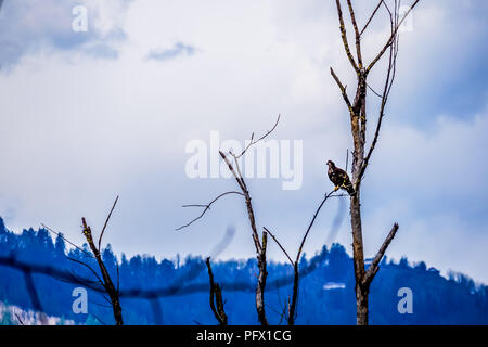 Young Bald Eagle in winter sitting on a Tree Branch at the Great Blue Heron Reserve near Chilliwack, in beautiful British Columbia, Canada - Stock Photo