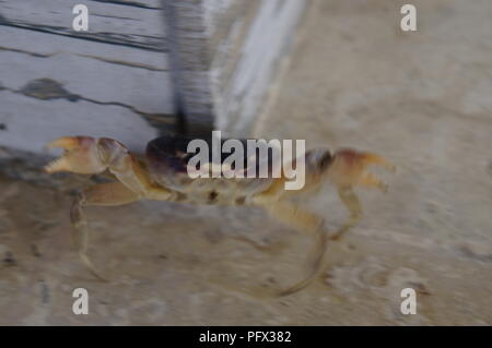 Small land crab escaping from the photographer - Stock Photo