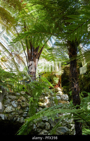 Collection of ferns growing in restored Victorian fernhouse at Benmore Botanical Gardens. Dunoon - Stock Photo