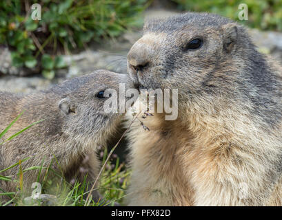 Marmot mom with baby - Stock Photo