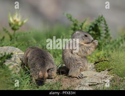 Baby Marmots - Stock Photo