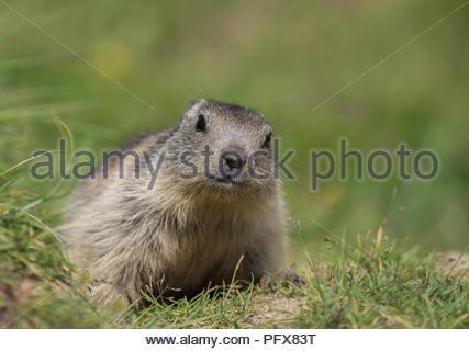 Baby Marmot - Stock Photo