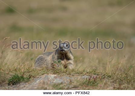Marmot in Saas-Fee - Stock Photo