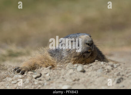Marmot in Saas-Fee - Stock Photo