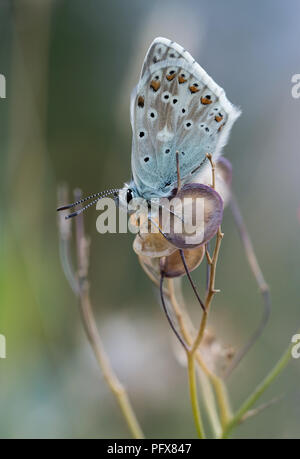 Arctic blue butterfly (Agriades glandon) - Stock Photo