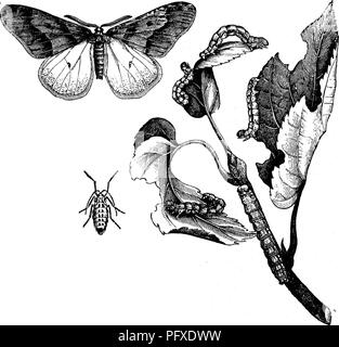 . Insects injurious to fruits. Illustrated with four hundred and forty wood-cuts. Insect pests. 110 INSECTS INJURIOUS TO THE APPLE. down from the trees by a silken thread, they burrow into the ground, forming a little oblong cell, five or six inches below the surface, within which the change to a chrysalis takes place, and from which the moth usually comes out late in Fig. 108.. October or early in November, but occasionally this latter change does not take place until spring. The male moths have large and delicate wings (see Fig. 108) and feathered antennae. The fore wings, which measure, whe - Stock Photo