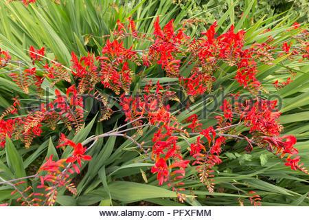 Crocosmia Plant - variety is Lucifer - Stock Photo