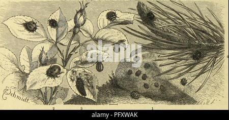 . Die Insekten, TausendfuÌssler und Spinnen. Insects; Arthropoda. 194 CSrftc Oriwung: Ãäfer; cimmbbrcifiigflc gmnUie: Jtugclfäfer. SÃoraufgeljcnbcii bic Siegel fein, eine bvitte unter günftigen ttmftäubcn (reiche JToft unb SBftrmc) nidjt aufjer bcni SöcvcidCjc ber 9Jtögticl)feit liegen. SDiele 9ttaricnfäferd)cn jeigen gvofjc llitbeftänbigfett in itjrcr JJIücfeufärbung, befonberg bann, roeuu bic fdjVjnrjc mit einer tieften f$farbe abtoecljfclt. Sie Ijier abgebilbete Coccinclla impustulata ©ig. 4) 3.58. erfdjeiut auf iljrerSRücfcnfcitcauf fdmuitjiggclbctu ©ninb fdjroarj gejcictnict; - Stock Photo