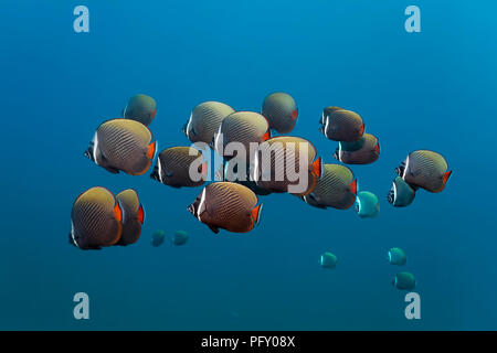 Swarm Red-tailed butterflyfishes (Chaetodon collare), swimming in blue water, Daymaniyat Islands Nature Reserve, Khawr Suwasi - Stock Photo