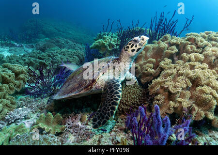 Hawksbill sea turtle (Eretmochelys imbricata), in the coral reef between Red sea whip (Ellisella sp.) and leathery corals - Stock Photo