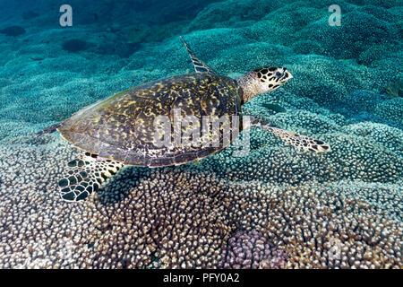 Hawksbill sea turtle (Eretmochelys imbricata), floats over Coral Reef, Daymaniyat Islands Nature Reserve, Indian Ocean - Stock Photo