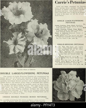 . Currie's farm and garden annual : spring 1930. Flowers Seeds Catalogs; Bulbs (Plants) Seeds Catalogs; Vegetables Seeds Catalogs; Nurseries (Horticulture) Catalogs; Plants, Ornamental Catalogs; Gardening Equipment and supplies Catalogs. Petunias—Giants of California. DOUBLE LARGE-FLOWERING PETUNIAS Our strains of double flowering Petunias are unsurpassed for beauty and size of flowers and produce a large percentage of double flowers. It is well known that seed saved from the most carefully hybridized flowers produce but a small percentage of double flowers, the balance being single of unusual - Stock Photo