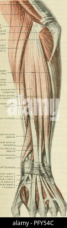 ". Cunningham's Text-book of anatomy. Anatomy. MUSCLES ON THE DOESAL SUEFACE OF THE FOEEAEM. 399 Nerve-Supply.âThe supinator is supplied by a branch from the deep branch of the radial nerve, which arises from the nerve before the main trunk enters the muscle. Action.âThe muscle is an extensor of the elbow, and the main supinator of the forearm. In the latter action it is assisted by the biceps. Triceps brachii TENDON Brachio- RAD1ALIS Lateral epicondyle Deep fascia of the forearm """" Anconeus Extensor carpi radialis â - LONGUS Dorsal margin of ulna Extensor carpi radialis BREVIS Extens - Stock Photo"