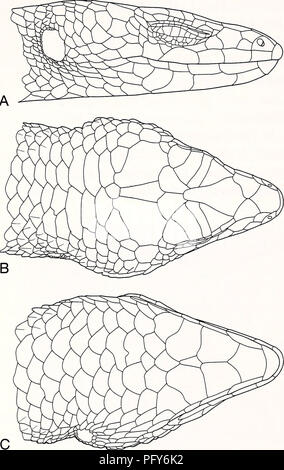 . Current herpetology. Reptiles; Herpetology. Current Herpetol. 21(1) 2002. FIG. 7. Lateral (A), dorsal (B), and ventral (C) views of head scales of Tropidophorus murphyi sp. nov. (holotype, ROM 41227). paravertebral scales smooth or feebly keeled, subequal to neighboring scales in size; 55-67 paravertebral scales; dorsolateral and lateral scales distinctly keeled; 30-32 midbody scale rows. See Discussion for comparisons with other congeneric species. Description of holotype Snout rounded, rostral partly visible from above; no supranasals; frontonasal undivided, overlapped by rostral, nasals,  - Stock Photo