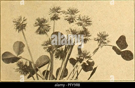 . Currie's farm and garden annual : spring 1925 50th year. Flowers Seeds Catalogs; Bulbs (Plants) Seeds Catalogs; Vegetables Seeds Catalogs; Nurseries (Horticulture) Catalogs; Plants, Ornamental Catalogs; Gardening Equipment and supplies Catalogs. CURRIE'S SPECIAL LAWN GRASS MIXTURE THOROUGHLY TESTED AND ANALYZED FOR GERMINATION AND PURITY. WTiite Clover. Composed of Evergreen Grasses, best suited to our American Climate, only the finest and cleanest grades of Seed being used. This splendid mixture is composed of only the finest dwarf-growing evergreen grasses; absolutely free from weed seeds  - Stock Photo