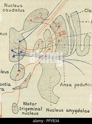 . Cunningham's Text-book of anatomy. Anatomy. BASAL GANGLIA OF THE CEEEBKAL HEMISPHERE. 641 the lentiform nucleus into the caudate nucleus (fibrse lenticulocaudatse). From the globus pallidus fibres arise which proceed into the internal capsule in the region of the genu and the neighbouring part Internal capsule Nucleus caudatus The Red nuc Substanti nigra Rubrospinal tract. ,- Claustrum Insula __- Putamen Globus pallidus eduncularis Nucleus am Fig. 571.—Diagram of a Frontal Section to illustrate the Fibre Connexions of the Corpus Striatum. of the posterior limb (Fig. 572). Many of these fibr - Stock Photo