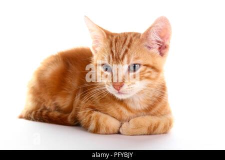 Ginger mackerel tabby kitten isolated on a white background - Stock Photo