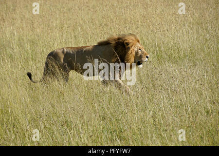 Male lion walking in long grass, Masai Mara Game Reserve, Kenya - Stock Photo