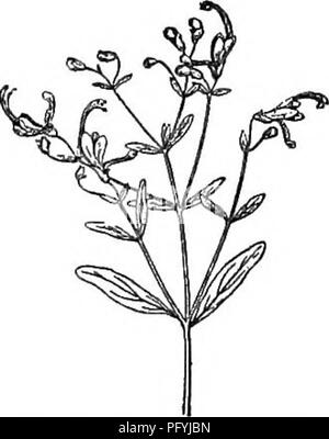 . Gray's new manual of botany. A handbook of the flowering plants and ferns of the central and northeastern United States and adjacent Canada. Botany. (J94 LABIATAE (MINT FAMILY). ments; anther-cells divergent and at length confluent. — Low annuals, some- what clammy-glandular and balsamic, branched, with entire leaves, and mostly solitary 1-flowered pedicels terminating the branches, becoming lateral by the production of axillary branch- lets, and the flower appearing to be reversed, namely, the short teeth of the calyx upward, etc. Corolla blue, varying to pink, rarely white, small; fl. in s - Stock Photo