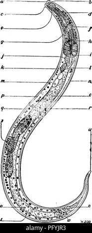 """. Fresh-water biology. Freshwater biology. FREE-LIVING NEMATODES 491 34 (31) Pharynx cyathiform then prismoid, ending behind very definitely; amphids distinct. Ethmolaimus de Man. Genus of two known species, one European, one American. Closely related to Chromadora, from which it is readily distinguished by the narrow uniform posterior portion of the pharynx, which is usually surrounded by a comparatively distinct pharyngeal bulb. Representative species. Ethmolaimus americanus Cobb 1914. <â â 2 5 10. IS 'S4'"""" 90.3 . ,. Labial papillae, apparently 12. Onchus thumb- shaped, forward point - Stock Photo"""