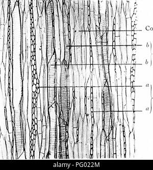 ". Photomicrographs of botanical studies. Photomicrography. 53.—T.L.S. (Wood Elements) Stem of ""Tilia europoea,"" Lime tree. Connective tissue. Pitted vessels.. Medullary ray.. Please note that these images are extracted from scanned page images that may have been digitally enhanced for readability - coloration and appearance of these illustrations may not perfectly resemble the original work.. Flatters, Milborne & McKechnie Ltd. Manchester : Flaters, Milborne & McKechnie - Stock Photo"