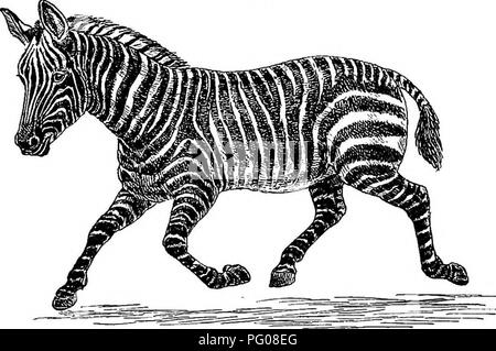 . American types of animal life. Zoology; Animal behavior. 204 TYPES OF ANIMAL LIFE are, or till recently were, four wild striped creatures of the horse family in Africa: These were i. The quagga, with stripes only on the head, neck, and fore part of the body. But a few years ago it was to be met with in great herds, ranging the vast plains which stretch between Cape Colony and the Vaal lliver. Now, however, it is a question whether any exist save in a few menageries. They have been trained to go in harness, although Fig. 57.. THE TRUE OR COMMON ZEBRA. never really domesticated. 2. The true ze - Stock Photo
