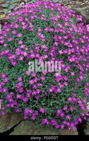 Aubrieta deltoidea is a species of flowering plant in the mustard family. (lilac bush, purple rock cress and rainbow rock cress) rock garden. - Stock Photo
