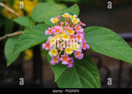Lantana, Verbenas Flowers - Stock Photo