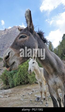 Close up of two donkeys in the Fann Mountains, Tajikistan - Stock Photo