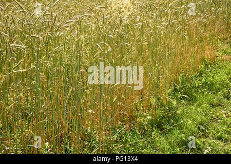 Field of golden wheat under beautiful sunlight harvest season background - Stock Photo