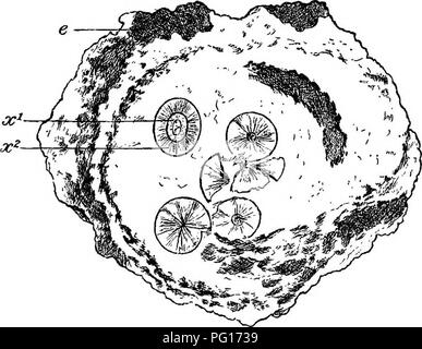. Fossil plants : for students of botany and geology . Paleobotany. IV] FOSSIL PLANTS IN VOLCANIC ASH. 89 petrified plants of Carboniferous age occur in such preservation as allows of a minute investigation of their internal structure. The occurrence of plants in the former locality was first discovered by Mr Wiinsch of Glasgow; the fossils occur in association with hardened shales and beds of ash, and are often exceedingly well preserved^ In fig. 18 is reproduced a sketch of a hollow tree trunk from Arran, probably a Lepidodendron stem, in which only the outer portion of the bark has been pre - Stock Photo