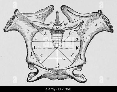 . Veterinary obstetrics; a compendium for the use of students and practitioners. Veterinary obstetrics. i6 VETERINARY OBSTETRICS. The outlet of the Mare's pelvis Is limited above by the apex of the sacrum and the base of the coccyx, and below by the Ischial arch formed by the junction of the two ischia; and laterally by the upper surface of the ischia, and posterior border of the sacro-sclatic ligaments. The diameters are usually less than those of the Inlet. The pelvis of the Cow is longer than that of the Mare, and not so vertical; the Ischlo-pubic symphysis is longer, and is very curved, ma - Stock Photo