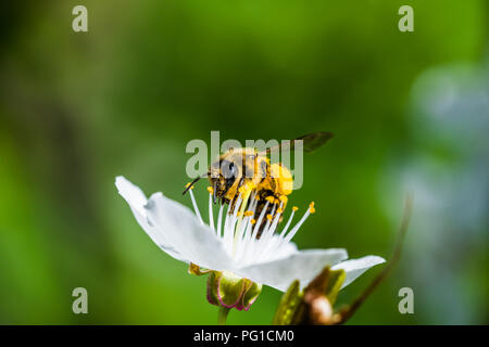 A hard working European honey bee pollinating a flowers in a spring. You can see big pollen baskets on legs (corbicula). Beautiful macro shot with sha - Stock Photo