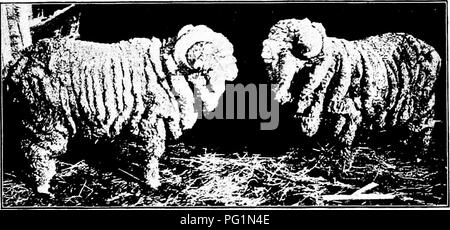 ". Types and breeds of farm animals . Livestock. 342 SHEEP Aguirre Merinos. This type had more wool about the face and legs than did the other types. The wool was more crimped than that of the Paulars and less so than that of the Negrettes, and was thick and soft. The Aguirres had short legs, round and broad bodies, and much loose skin or folds. Negrette Merinos. These were the largest and strongest of the Transhumantes sheep of Spain. The wool was some shorter and more open than that of the Paular, and ""inclined to double."" Many Negrettes were wooled on the face, and on the legs to t - Stock Photo"