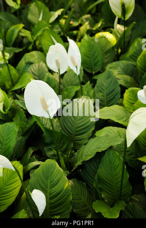Many Spathiphyllum white flowers in green foliage. Spath plants in a garden saturated background - Stock Photo