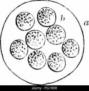 . On the anatomy of vertebrates. Vertebrates; Anatomy, Comparative; 1866. .589 CHAPTER XIL GENERATIVE TKODUCTS AND DEVELOPEMENT OF H^EMATOCRYA. The functions of the above-described Generative Organs are ' semination,' ' ovulation,' ' fecundation,' and ' exclusion,' to which is added, in some Ha3matocrya, that of ' foetation.' Semination, or the production of sperm-cells, is peculiar to the testis ; ovula- tion, or the production of germ-cells and vitellus, is peculiar to the ovary: fecundation is the combined act of the male and female. A part of the oviduct is usually modified to add accessor - Stock Photo