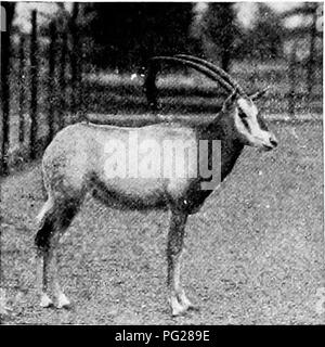 """. Popular official guide to the New York Zoological Park. New York Zoological Park. NEW YORK ZOOLOGICAL PARK. 41. LEUCORYX ANTELOPE WHITE-TAILED GNU white, render it a most conspicuous animal. On its native veldt it has now become a ver.y rare species, and seldom is taken b.y sportsmen. The fine male specimen in the Park was presented by Miss Jean """"Walker Simpson. The Sing-Sing Waterbuck, {Cobiis mictuosus), is a crea- ture of the lowlands, and frequents the dense tangles of tall reeds that border many of the rivers of West Africa, above the great equatorial forest. In captivity it someti - Stock Photo"""