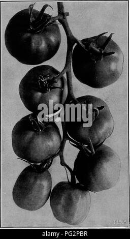 ". The vegetable industry in New York state ... Vegetables; Gardening. 14:02 The Vegetable Industry in Kew York State smooth, red variety became popular. At this time there were, besides the yellow and cherry kinds, but four varieties, and only two of these were widely known.. Fig. 427.— New Stone Tomato. This is Called THE King of the Livingston Kinds, Which Ake the Best Types of Lakge, Smooth, Solid, "" Beefy "" Tomatoes VARIETIES In 1865 the tomato was a universal favorite. It had become a commercial staple and one thousand acres are said to have been devoted to its cultivation in th - Stock Photo"