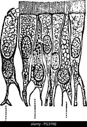 . Elementary biology, animal and human. Biology. 42 HUMAN BIOLOGY These cells are therefore too small to be seen by the most powerful microscopes. The life history and method of transmission of the micro- scopic animal that causes malaria has already been dis- cussed in connection with the study of the Anopheles mosquito (A. B., 40). Likewise, it has been demonstrated beyond a cavil that infection from a yellow-fever patient can only be brought about through the agency of the Stegomyia mosquito. Hence, to eradicate these diseases entirely, we need only to exterminate all Anopheles and Stegomyi - Stock Photo