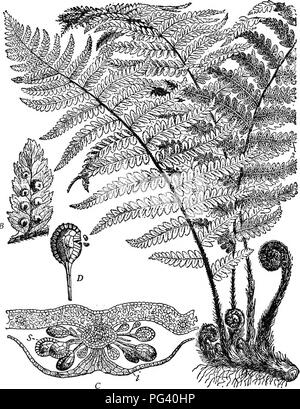 . Plant life and plant uses; an elementary textbook, a foundation for the study of agriculture, domestic science or college botany. Botany. 4i8 THE VASCULAR PLANTS. Fig. 209. — Aspidium, a common fern. A, the entire plant, showing the rhizome, the coiled young leaves arising from it, and three mature fronds, one of which shows sori as dark dots on the under surface. B, a leaflet, showing the shield- like coverings (indusia) of the sori. C, section through a sor'us and the leaf which bears it, as seen through a microscope; i, the indusium; s, the sporangia. D, a sporangium, showing the annulus  - Stock Photo