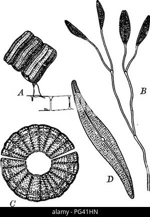 """. Foundations of botany. Botany; Botany. TYPES OF CRYPTOGAMS; THALLOPHYTES 241 in nitric acid, the cellulose wall and its contents may be destroyed and the markings of the siliceous shell more easily observed. Each diatom consists of a single cell. 272. Movements of Diatoms. — Living diatoms exhibit a peculiar power of movement. In the boat-shaped species the movement is much like that of a row-boat, forward or backward. THE STUDY OF SPIROGYRA 273. Occurrence. — Spirogyra, one of the plants commonly known as pond-scum, or «frog-spit,"""" occurs widely distributed throughout the country in po - Stock Photo"""