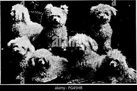 Group Of Toy Poodles Property Of Mrs C L Little Taunton