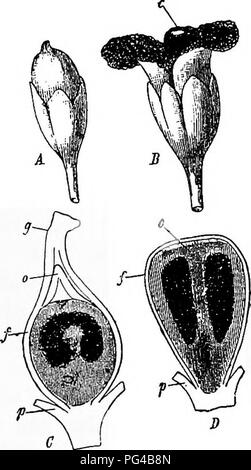""". Diseases of plants induced by cryptogamic parasites : introduction to the study of pathogenic Fungi, slime-Fungi, bacteria, & Algae . Plant diseases; Parasitic plants; Fungi. SPHACELOTHKCA. 303 this fungus as follows :' """" Sphacelotheca forms its compound sporophore in the ovule of its host. When the ovule is normally and fully developed in the young flower, the parasite, which always grows through the flower-stalk into the place of insertion of the ovary, sends its hyphae from the funiculus into the ovule, where they rise higher and higher and surround and penetrate its tissue to su - Stock Photo"""