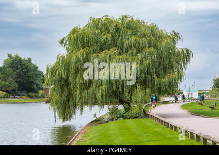 Weeping Willow tree growing by the side of a small lake in a park in Summer in the UK. - Stock Photo