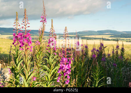 A summer View Over Corsindae with Rosebay Willowherb in the Foreground. - Stock Photo